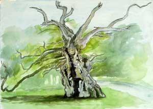 The Laund Oak Watercolour Sketch By Joy Godfrey